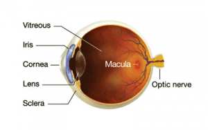 http://eyemax.ca/wp-content/uploads/2014/08/Visual_Conditions_Macular-wpcf_300x188.png